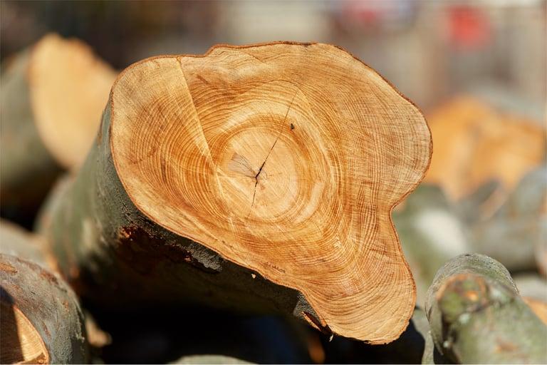 Buchenholz für die Gewinnung von Zellulose als Grundlage für Tencel