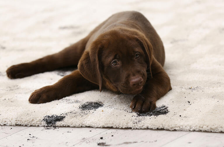 how to remove mud stains and pet hair from carpets